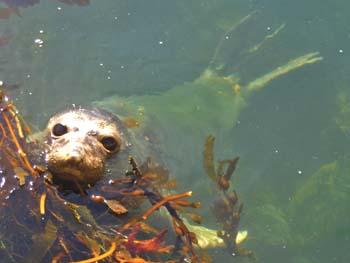 seal-in-water.jpg
