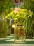 many-stemmed-eriophyllum.jpg