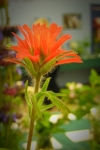 indian-paint-brush-scarlet-cup.jpg