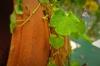 kenilworth-ivy.jpg