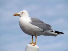 otter seagull
