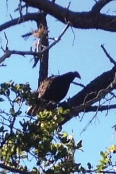 close vulture