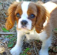 This Cavalier King Charles Spaniel is NOT one of the ones rescued. Photo is for information only.