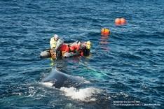 whale fluke entanglement