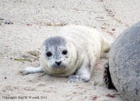 Pacific Grove seal pup, photo from 4-25-14 by Kim Worrell