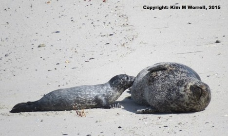 Seal Pup #1 and his mom at Hopkins Beach
