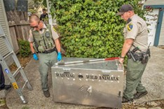 California Fish & Wildlife personnel prepared to transport Ms. Mountain Lion