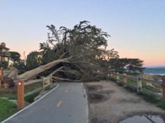 Cypress tree down on the Rec Trail. Photo by Cheryl Kampe.