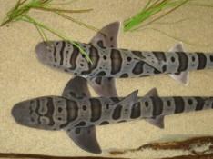 By nugunslinger from Lafayette, USofA - Leopard Sharks