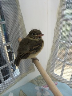 Fledgling Pacific Slope Flycatcher is improving